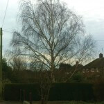 Silver birch tree before crown reduction