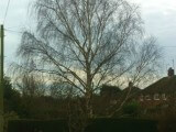 Silver birch tree, before photo