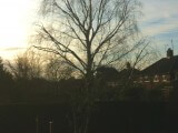 Silver birch tree, after photo