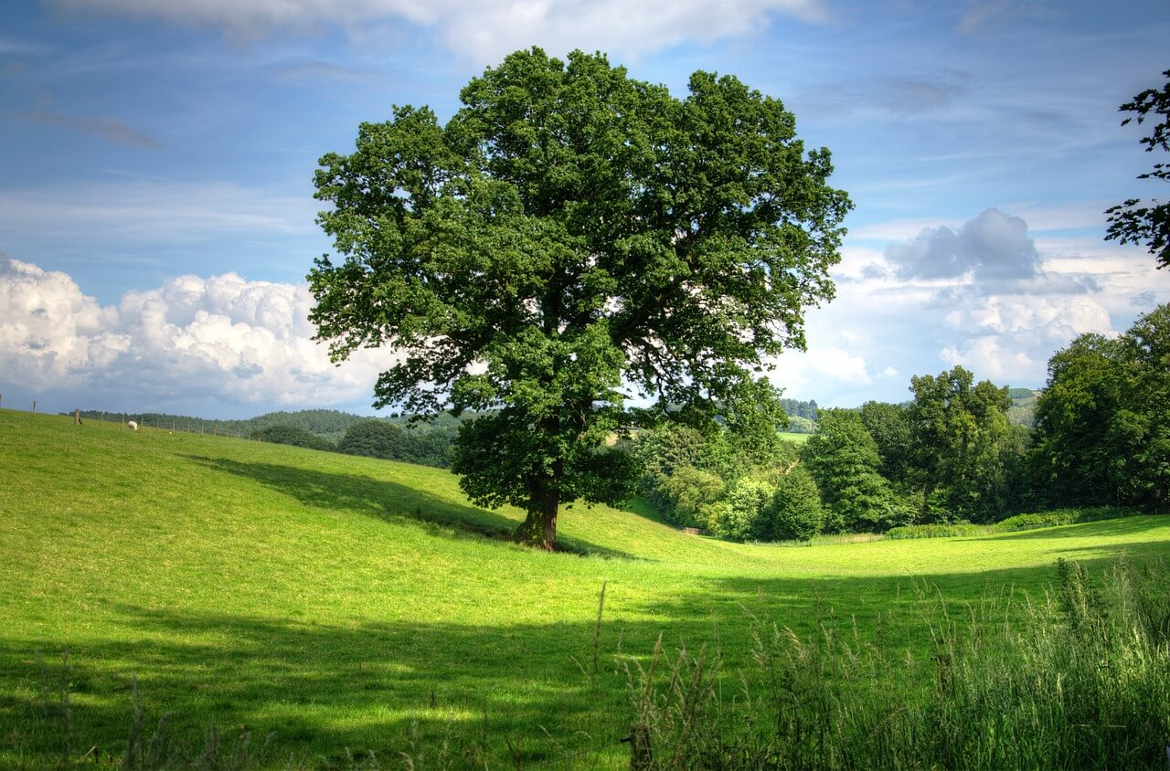 Tree in Lush Field